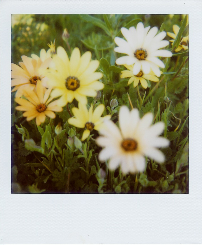 Daisies for sandra