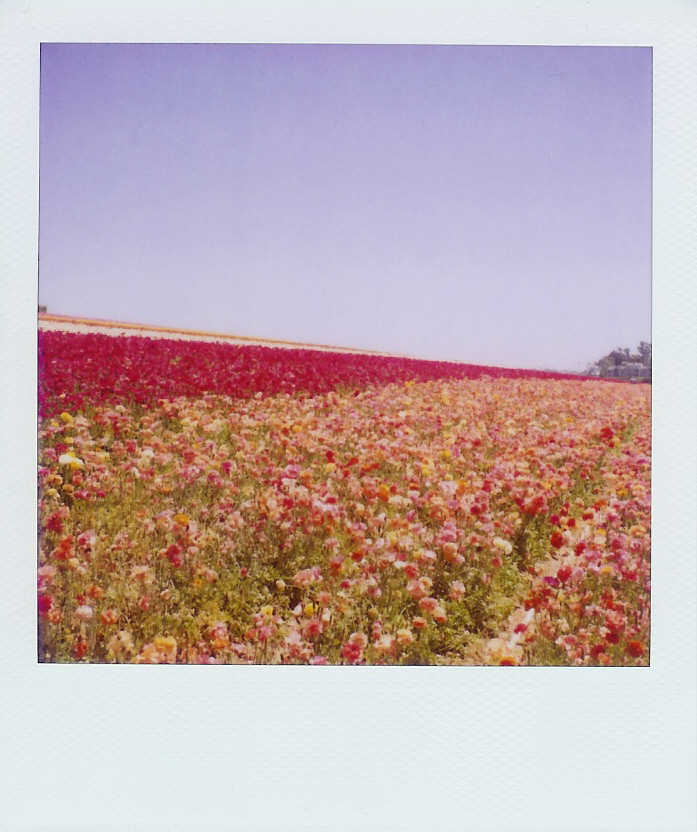 Flower fields may 09